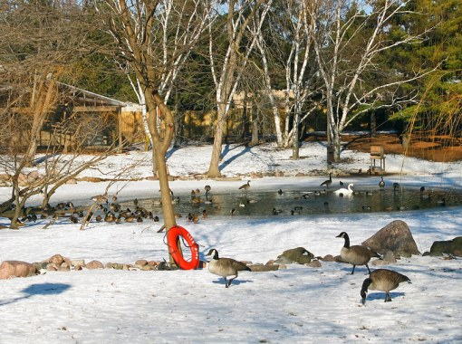 On this sunny winter day Gueese, Mallards, and Swans were in full activity at the Milwaukee County Zoo.