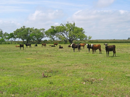 A typical south Louisiana small cattle farm