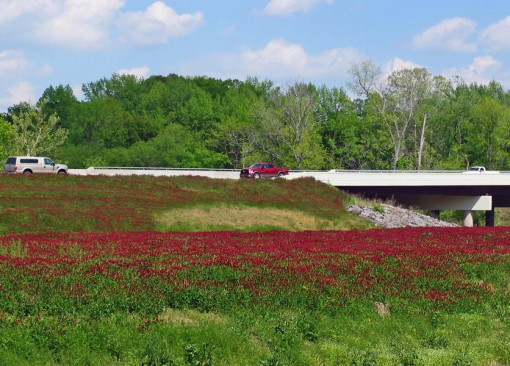 Crimson Clover is seen on the roadside in southeastern states, such as this on US Hwy 71 in Arkansas