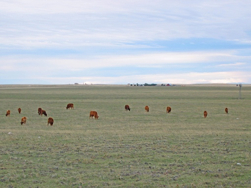 Red Angus cattle located on farms on Colorado prairie land