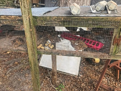 Guinea chicks left from storm